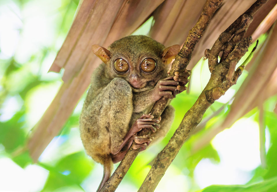 Tarsier-With-Big-Eyes